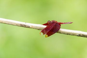 Portrait of dragonfly - Russet Percher (Neurothemis fulvia)