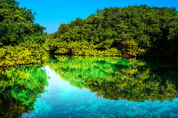 Mangrove forest growing in shallow lagoon