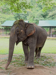 Young female Indian elephant eating grass while breaking between the show in elephant camp in northern part of Thailand