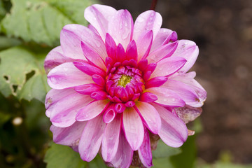 Pink flower Dahlia close-up at the autumn.