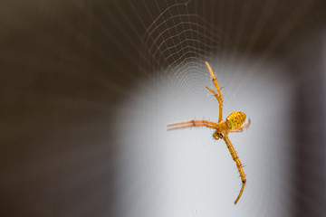 Beautiful yellow spider on the spider webs with dark background.