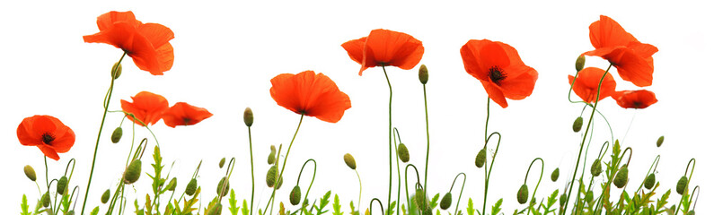 Photo sur Aluminium Poppy Red poppy flowers isolated .