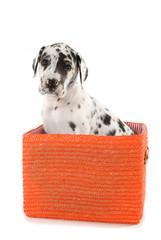 Schwarzweißer Doggenwelpe sitzt in einer Box isoliert auf weißem Grund