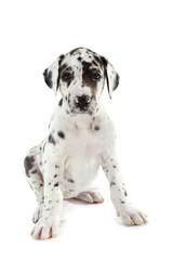 Schwarzweißer Doggenwelpe isoliert auf weißem Grund