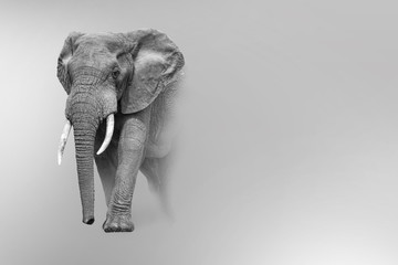 elephant walking out of the shadow into the light digital wildlife art white edition