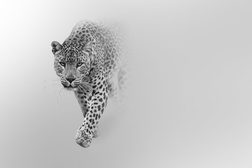 Poster Luipaard leopard walking out of the shadow into the light digital wildlife art white edition