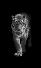 Foto op Canvas Bestsellers Kids bengal tiger walking out of the dark into the light digital wildlife art