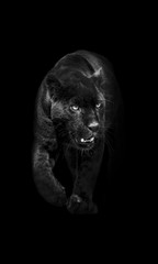 Zelfklevend Fotobehang Panter black panther walking out of the dark into the light