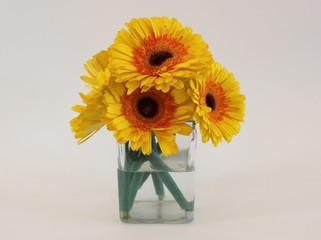 Isolated bouquet of yellow gerber daisies with white background