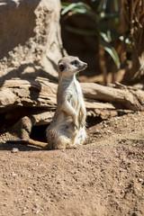 Meerkat looking off into distance
