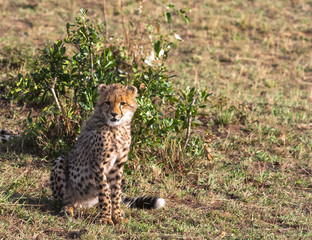 Young cat cheetah near tree. Masai Mara, Kenya