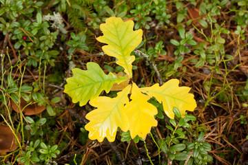 Yellow oak leaves in autumn.