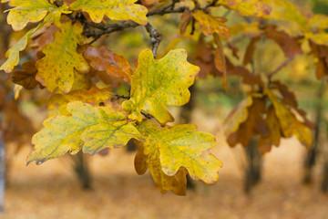 Door stickers Vineyard Yellow oak leaves in autumn.
