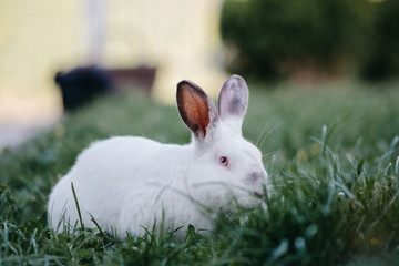 Adult white rabbit in grass