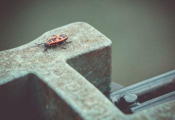 Box Elder Bug I