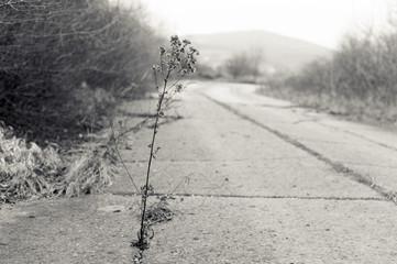 Distel wächst aus Asphalt
