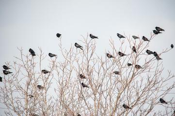 Krähen sammeln sich auf Baum