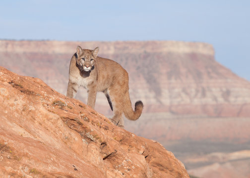 Young cougar standing on top of a red sandstone boulder with a southwestern mesa in the background