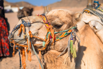 Camels on the african desert in Egypt