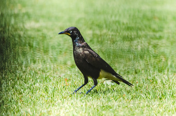 Garden Bird - Pied Starling