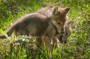 Fotomurales - Grey Wolf (Canis lupus) Pup Jumps on Sibling