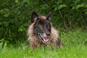 Black Phase Grey Wolf (Canis lupus) in Grass