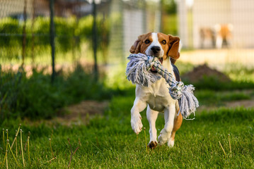 Dog run beagle jumping fun