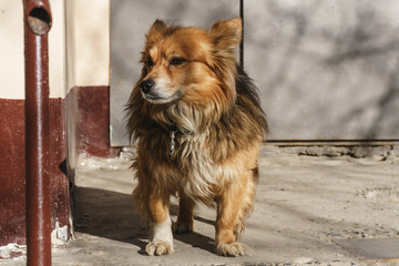 An old red dog without a breed stands alone near the entrance to the house and waits for its owner