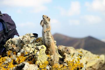 African ground squirrels on Fuerteventura, Spain.