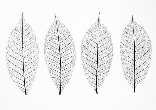Transparent leaves  on white