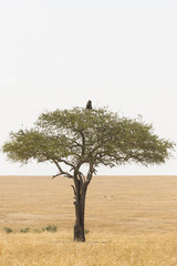 Baboon on top of an acacia
