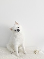 LIttle white dog looks, his head tilted