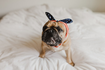 French Bulldog Dressed Up in Flag Apparel for Fourth of July
