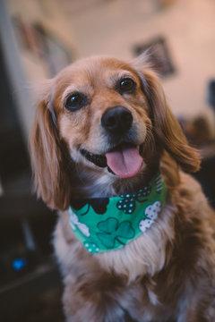 Golden spaniel mix dog smiling with Irish shamrock bandana