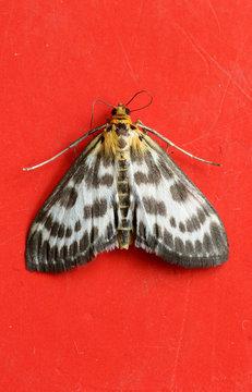 Moth on red door