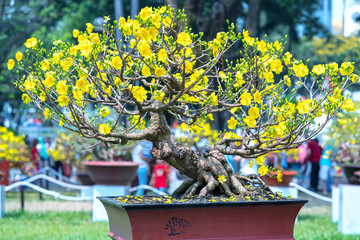 Ho Chi Minh City, Vietnam - February 16, 2018: Apricot tree blooming with yellow Flowering bonsai branches curving create unique beauty of spring flower festival attracts many tourists to enjoy in Ho