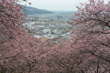 桜 flower 花