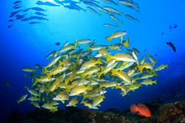 Bigeye Snapper fish underwater