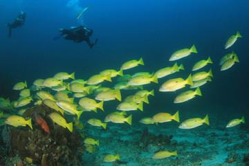 Scuba divers and snapper fish