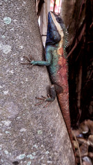 Blue lizard climbing the tree and changing color to camouflage. Cold-blooded animal in the city park.