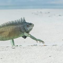 Green iguana walking on the sand, funny animal, head