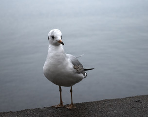 Portrait of a seagull. Seagull stands on a concrete parapet against the gray sea