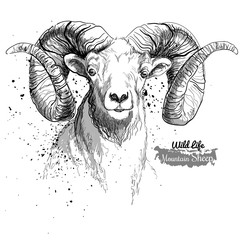 Mountain sheep. Illustration in grunge style