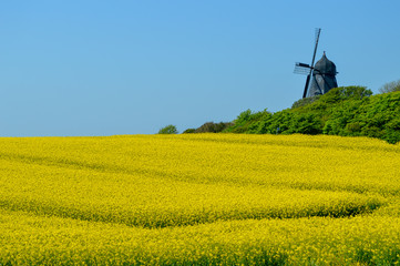 Canvas Prints Honey Danish Old Windmill in Pastoral Yellow Field