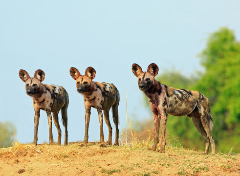 Scenic view of wild dogs (Lycaon Pictus) - Painted Dogs  looking alert after a recent Kill, with a bright blue clear sky background. South Luangwa National Park, Zambia
