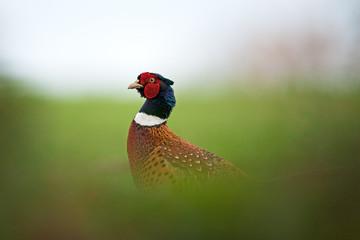 common pheasant, phasianus colchicus, Czech republic