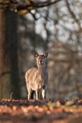 sika deer, cervus nippon, Czech republic
