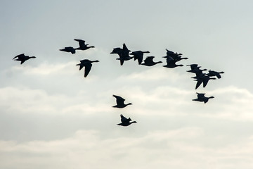 Flock of the gooses flying on the sky. Greater white-fronted goose (Anser albifrons).