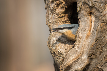The Eurasian nuthatch or wood nuthatch (Sitta europaea) looking from the hole of the tree in a winter time.