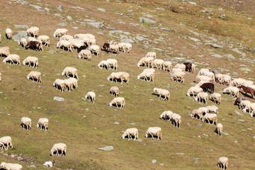 gregge di pecore in alta montagna